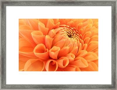 Summer Dahlia Framed Print by Marc Huebner