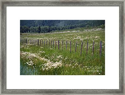 Summer Daises Framed Print