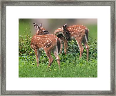 Summer Fawns Framed Print by Lara Ellis