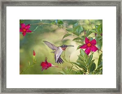 Summer Garden Hummingbird Framed Print