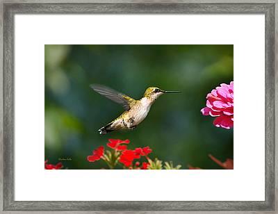 Summer Hummingbird Framed Print