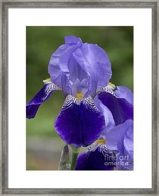 Summer Iris Framed Print