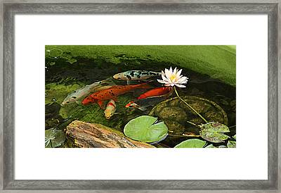 Summer Koi And Lilly Framed Print