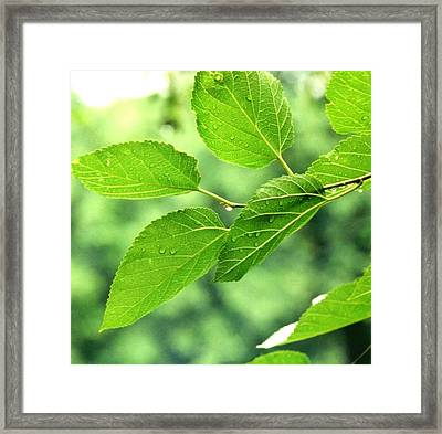 'summer Leaves With Raindrops'  Framed Print