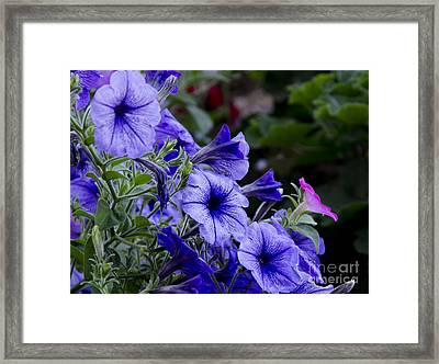 Framed Print featuring the photograph Summer Petunias by Wilma  Birdwell