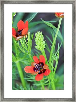 Summer Pheasant's Eye (adonis Aestivalis) Framed Print