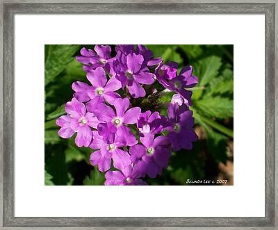Summer Phlox Framed Print by Belinda Lee