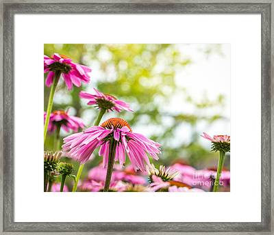Summer Pink 1 Framed Print by Susan Cole Kelly Impressions