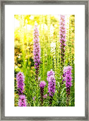 Summer Pink 2 Framed Print by Susan Cole Kelly Impressions