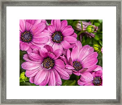 Summer Pink 3 Framed Print by Susan Cole Kelly Impressions