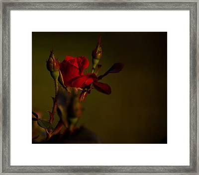 Summer Rose Framed Print by Mark Alder
