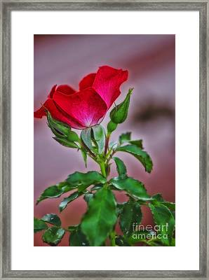 Summer Rose Framed Print by Thomas Woolworth