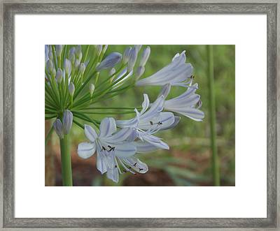 Summer Skies - African Lily Framed Print by Annette Allman