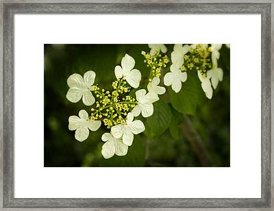 Framed Print featuring the photograph Summer Snowflakes Viburnum  by Ben Shields