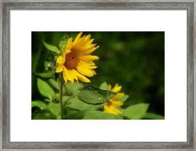 Summer Sunflower 2 Framed Print