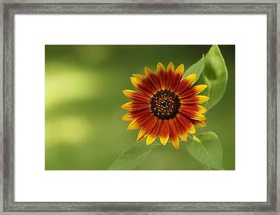Summer Sunflower 3 Framed Print