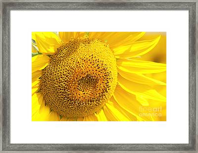 Summer Sunflowers Framed Print by Boon Mee