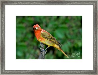 Summer Tanager Changing Color Framed Print by Anthony Mercieca