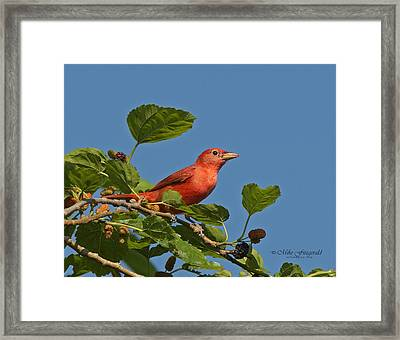 Summer Tanager Framed Print by Mike Fitzgerald