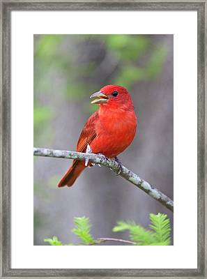Summer Tanager (piranga Rubra Framed Print by Larry Ditto
