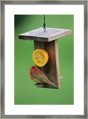 Summer Tanager (piranga Rubra Framed Print by Richard and Susan Day