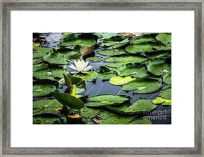 Summer Water Lily 1 Framed Print by Susan Cole Kelly Impressions