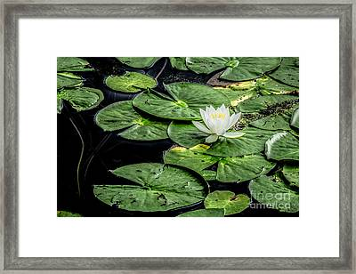 Summer Water Lily 3 Framed Print by Susan Cole Kelly Impressions