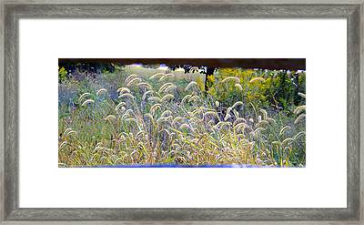 Summer Wheat Framed Print
