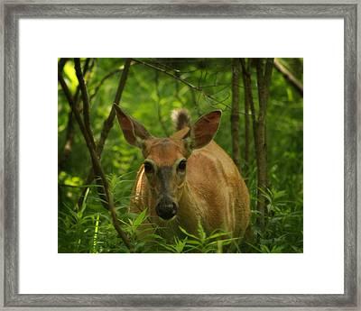 Summer Whitetail 2 Framed Print