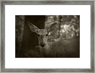 Summer Whitetail 3 Framed Print