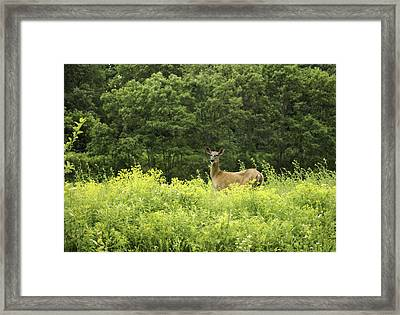 Summer Whitetail Deer Framed Print by Thomas Young