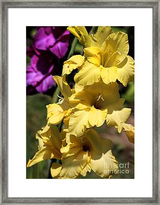 Summer Yellow And Purple Glads Framed Print
