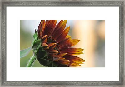 Summertime Sunflower Framed Print by Debra Madonna