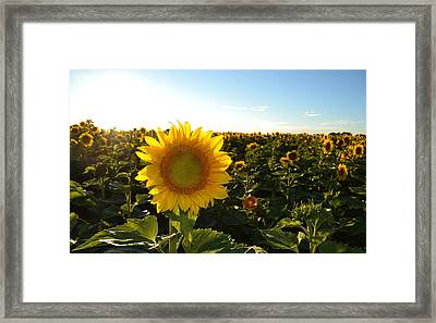 Sun And Sunflower 2  Framed Print by Lyle Crump