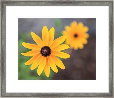 Sun Daisy Framed Print