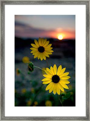 Sun Flower 1 Framed Print