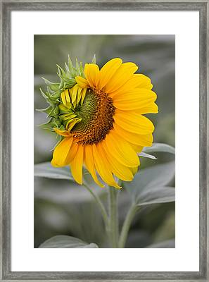 Framed Print featuring the photograph Sun Flower by Nick Mares