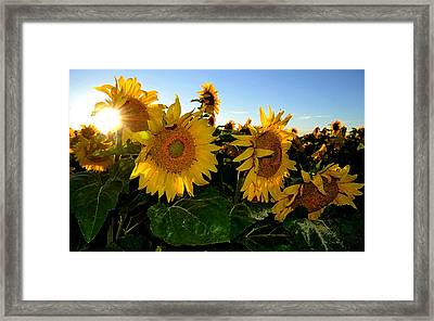 Sun Flowers And Pollen Wcae2  Framed Print by Lyle Crump