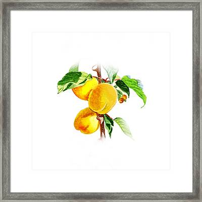 Sun Kissed Apricots Framed Print