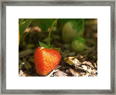 Sun Kissed Strawberry Framed Print by Kristine Bogdanovich