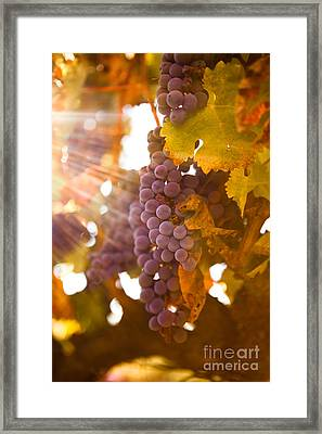 Sun Ripened Grapes Framed Print by Diane Diederich