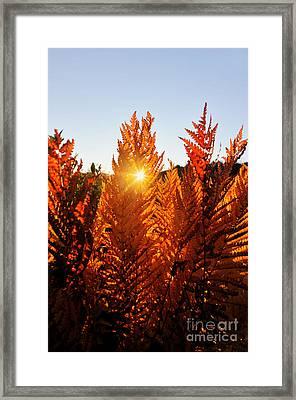 Sun Shining Through Fern Framed Print by Dan Friend