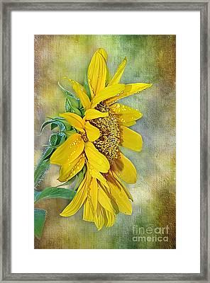 Sun Shower On Sunflower Framed Print by Kaye Menner