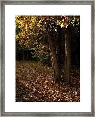 Sun Struck Cedars Framed Print by Stan Wojtaszek