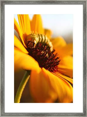 Framed Print featuring the photograph Sunbathing Caterpillar by Alicia Knust