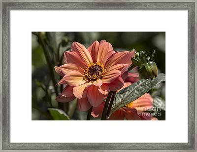 Sunbathing Dahlia Framed Print