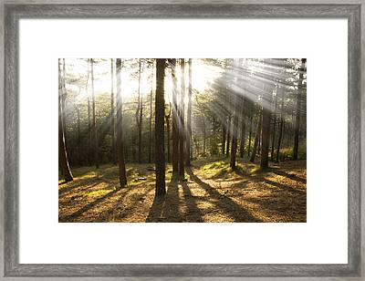 Sunbeams Through The Trees Framed Print by Paul Madden