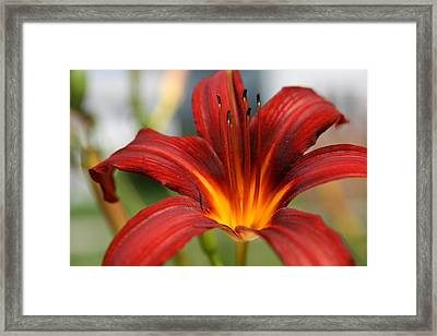 Framed Print featuring the photograph Sunburst Lily by Neal Eslinger