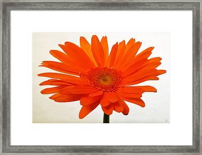 Sunburst Zinnia Framed Print by Sherry Allen