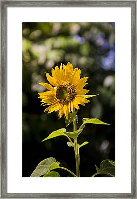 Sunday Sunflower Framed Print by Benazio Putra